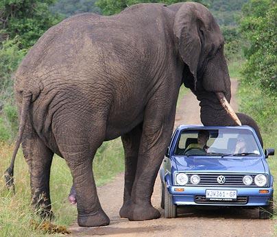 Un éléphant s'attache un peu trop à une voiture
